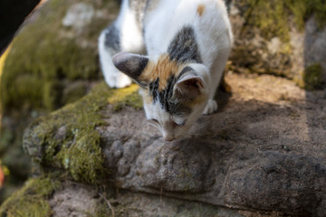 Little kitten on mossy stone ready to jump. Kitty plays in natural park. Curious cat in Angkor Wat temple.