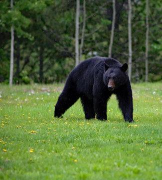 Black bear in Canadaian Rockies