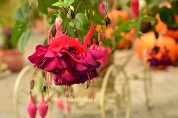 フクシアの花
