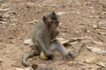 Little baby monkey eating corn. Cute monkey closeup portrait. Wild chimpanzee in jungle forest.