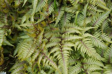 Athyrium niponicum or oriental ladyfern or japanese painted fern