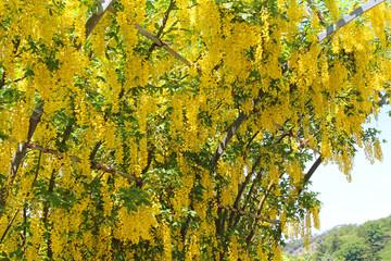 藤の花 キバナフジ
