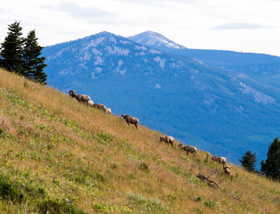 Herd of bighorn sheep grazing on a mountain slope in National Bison Range - Montana, USA
