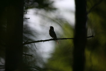 Back light chirping bird on a branch