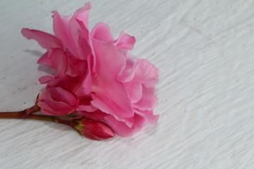 красивая розовая роза на белом фоне , крупным планом