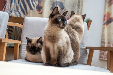 Three Siamese cats on a chair