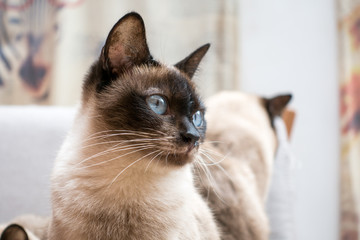 Dedicated Siamese cat indoors