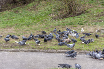 Pigeons in the city park outdoor with green grass