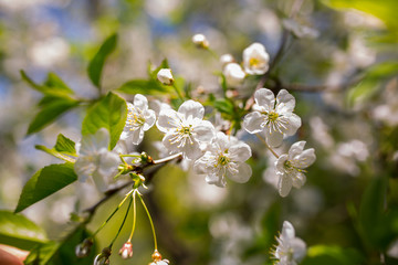 Cherry plum tree blossom. Blooming tree branch on the sunny spring day. Real natural photo background.