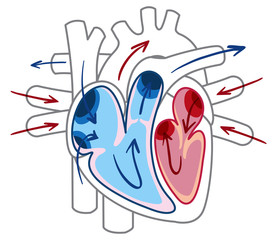 Blood flow of the heart diagram