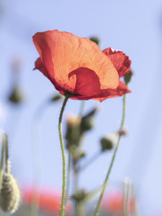 Poppies In A Garden With Blue Sky