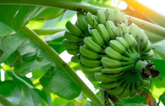 Banana tree with bunch of raw green bananas and banana green leaves. Cultivated banana. Herbal medicine for treatment diarrhea and gastritis. Tropic fruit. Agriculture. Organic food