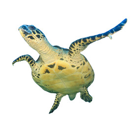 Hawksbill Sea Turtle isolated