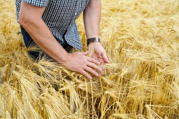 Getreideanbau, Landwirt ertastet mit seinen Händen die Reife seiner Gerste