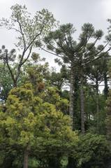 araucaria forest dense vegetation environment protection lawn