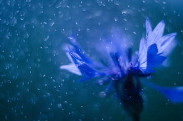 Сornflower flower under rain drizzle with blue water drops