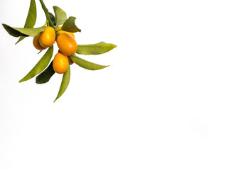 Branch of a kumquat  (cumquat) tree over white background
