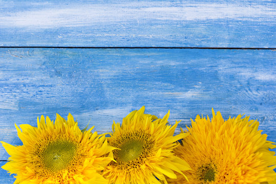 Flowers of a sunflower on a blue wooden background. Ukrainian flag.
