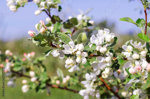 Big blooming apple tree branch with white flowers and green leaves big blooming apple tree branch with white flowers and green leaves sunny spring day mightylinksfo