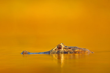 Crocodile and sunset.  Yacare Caiman in the dark orange evening water surface with sun, nature river habitat, Pantanal, Brazil. Wildlife scene from nature. Crocodile and sunset.