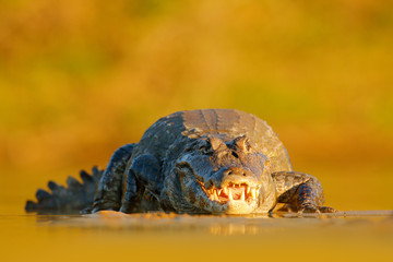 Evening light in nature. Yacare Caiman, crocodile with open muzzle with big teeth, Pantanal, Brazil. Detail portrait of danger reptile.