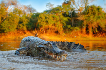 Crocodile catch fish in river water, evening light. Yacare Caiman, crocodile with piranha in open muzzle with big teeth, Pantanal, Bolivia. Detail wide angle portrait of danger reptile.