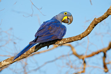 Hyacinth Macaw, Anodorhynchus hyacinthinus, big blue parrot sitting on the branch with dark blue sky, Pantanal, Brazil, South America.