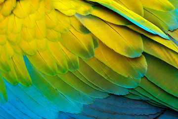 Close-up detail of parrot plumage. Green parrot Great-Green Macaw, Ara ambigua, detail of bird wing Wild nature in Costa Rica. Green, yellow and blue feathers. Wall mural