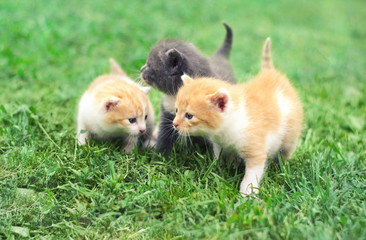 Three cute little kittens walking on a green grass