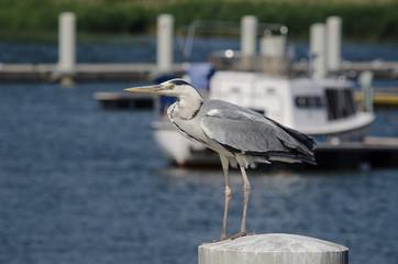 GRAY HERON - Wild bird on a pole in a yacht port
