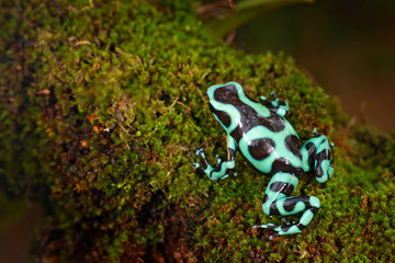 Poison frog from Amazon tropic forest, Costa Rica . Green amphibian, Dendrobates auratus, in nature habitat. Beautiful motley animal from tropic forest in Central America.