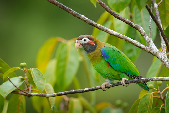Detail close-up portrait of bird from Central America. Wildlife scene from tropical nature from Costa Rica. Brown-hooded Parrot, Pionopsitta haematotis, portrait of light green parrot with brown head.