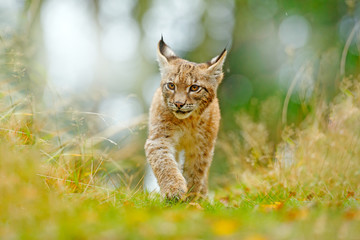 Foto op Plexiglas Lynx Young Lynx in green forest. Wildlife scene from nature. Walking Eurasian lynx, animal behaviour in habitat. Cub of wild cat from Germany. Wild Bobcat between the trees.