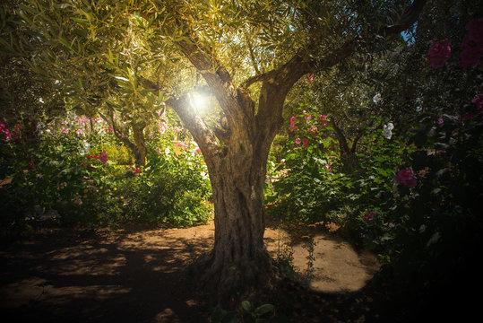 Olive trees in Gethsemane garden, Jerusalem