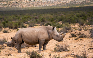 White Rhinos in Aquila private Game Reserve
