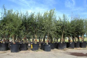 Photo sur Aluminium Oliviers nombreux oliviers en pot en vente dans une jardinerie