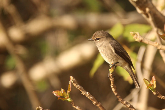 African Dusky Flycatcher sitting on a branch
