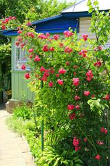 Delicate flowers of weaving rose bloom in garden near house
