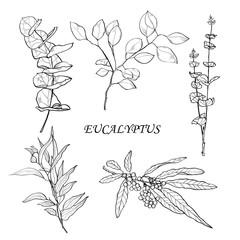 ecaliptus leaves sketch style vector