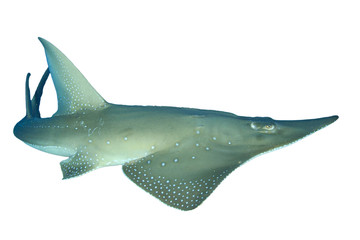 Giant Guitarfish (Shovelnose Ray) Shark Ray isolated on white background