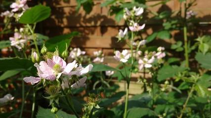 Rosa Blüten am Brombeerstrauch