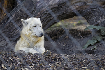 white wolf in the zoo behind the grid proudly looks to the side, background image