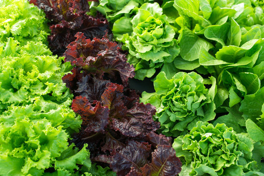 lettuce green fresh plant