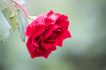 single red rose with morning dew and bokeh background
