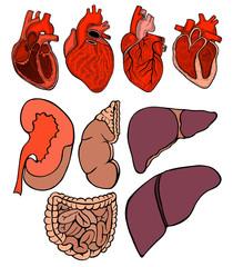 Real heart.  illustration