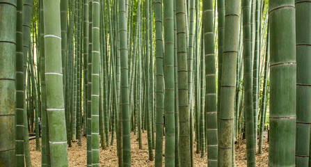 Spoed Fotobehang Bamboo Bamboo forest, Japan