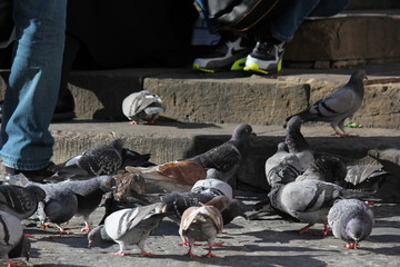 Lot of pigeon on the street in Florence, Italy