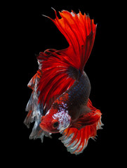 Foto auf Leinwand Fisch siamese fighting fish