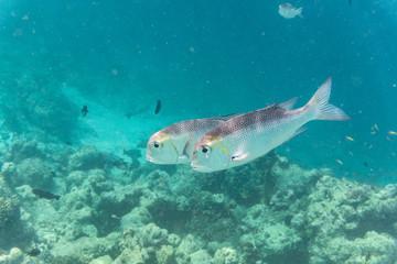 Fischpaar in offenem Meer