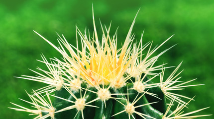 Top view of amazing green cactus as a background, close up, natural texture. Closeup cactus isolated on fresh green background. Macro picture of cactus, cacti flower on natural green background.